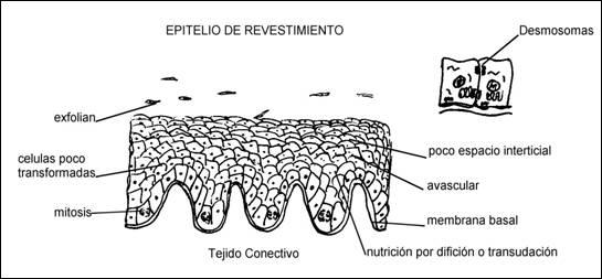 OBSERVACIÓN DE LOS TEJIDOS EPITELIAL DE REVESTIMIENTO EN LA BOCA Y ...